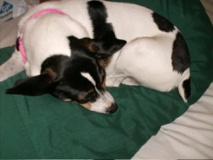 Lucky, my old rat terrier